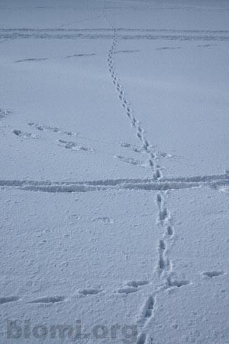 siiven jäljet lumessa