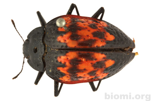 Erotylus variegatus